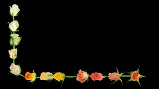 Montage of opening colorful roses time-lapse 7b1 in Animation format with ALPHA transparency channel isolated on black background