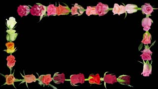 Montage of opening colorful roses time-lapse 7x4 in RGB + ALPHA matte format isolated on black background