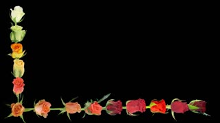 Montage of opening colorful roses time-lapse in Animation format with ALPHA transparency channel isolated on black background