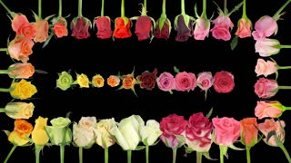 Montage of opening colorful roses time-lapse in PNG+ format with ALPHA transparency channel isolated on black background