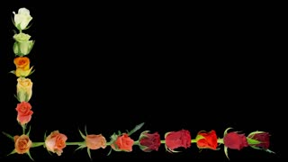 Montage of opening colorful roses time-lapse, time lapse, time, lapse, timelapse, includes alpha matte