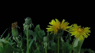 Phototropism effect in growing and opening dandelion plant 26x3 in RGB + ALPHA matte format isolated on black background. Displays the move of plant leaves and flowers to the direction of light source