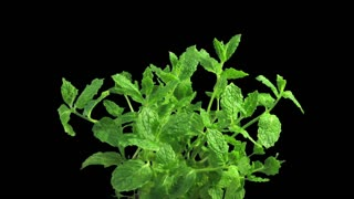 Phototropism effect in growing mint herb 1a3 in RGB + ALPHA matte format isolated on black background. Displays the move of plant leaves to the direction of light source.