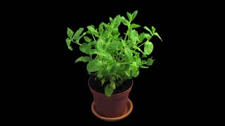 Phototropism effect in growing mint herb 1x3 in RGB + ALPHA matte format isolated on black background. Displays the move of plant leaves to the direction of light source.