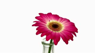 Rotating pink-white gerbera in a vase 9x1 isolated on white background