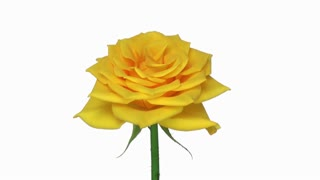 Rotating yellow Golden gate rose 13x1 isolated on white background, seamless loop