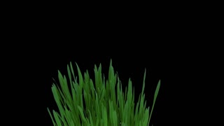 Time-lapse growing and rotating barley sprouts in a pot 1x3 in RGB + ALPHA matte format isolated on black background