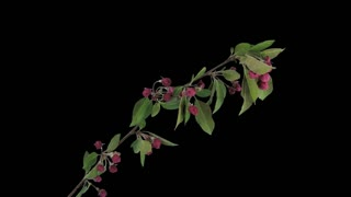 Time-lapse of blooming apple paradise branch 10x3 in 4K PNG+ format with ALPHA transparency channel isolated on black background