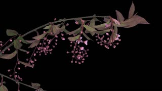 Time-lapse of blooming bird cherry branch 2a1 in PNG+ format with ALPHA transparency channel isolated on black background