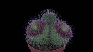 Time-lapse of blooming pink cactus buds 10x3 in RGB + ALPHA matte format isolated on black background