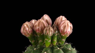 Time-lapse of blooming pink cactus buds 8x5 in PNG+ format with ALPHA transparency channel isolated on black background