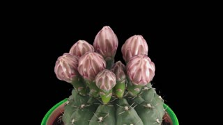 Time-lapse of blooming pink cactus buds 9a3 in RGB + ALPHA matte format isolated on black background