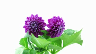Time lapse of blooming purple dahlia flower 1a1 on white background time lapse of blooming purple dahlia flower 1a1 on white background stock video footage videoblocks mightylinksfo