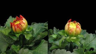Time-lapse of blooming red dahlia 6d1 in PNG+ format with ALPHA transparency channel isolated on black background, shot with 2 synchronized cameras