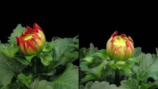 Time-lapse of blooming red dahlia 6d3 in RGB + ALPHA matte format isolated on black background, shot with 2 synchronized cameras