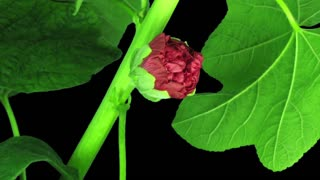 Time-lapse of blooming red filled mallow (Alcea Rosea) flower 1a3 in RGB + ALPHA matte format isolated on black background