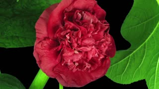 Time-lapse of blooming red filled mallow (Alcea Rosea) flower 2b3 in RGB + ALPHA matte format isolated on black background