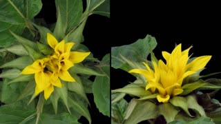 Time-lapse of blooming sunflower 3d1 in PNG+ format with ALPHA transparency channel isolated on black background. Shot with 2 synchronized cameras positioned in 90 degrees, one from the top and another vertically in front of the plant.