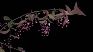 Time-lapse of blooming white bird cherry branch 2a3 in RGB + ALPHA matte format isolated on black background