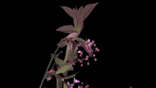 Time-lapse of blooming white bird cherry branch 2b3 in RGB + ALPHA matte format isolated on black background