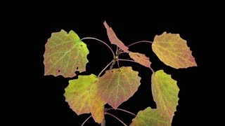 Time-lapse of drying Aspen tree leaves 1b3 in RGB + ALPHA matte format isolated on black background
