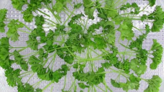 Time-lapse of drying (dehydrating) parsley spice (Petroselinum crispum) in dehydrating machine 2b1 on white background