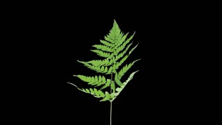 Time-lapse of drying Fern leaves 1a3 in RGB + ALPHA matte format isolated on black background