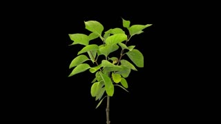 Time-lapse of drying Lilac bush leaves 2a5 in 4K PNG+ format with ALPHA transparency channel isolated on black background