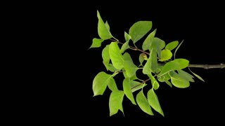 Time-lapse of drying Lilac bush leaves 2v5 in 4K PNG+ format with ALPHA transparency channel isolated on black background, vertical composition