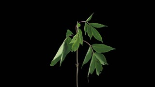 Time-lapse of drying Shrub branch leaves 10a4 in 4K PNG+ format with ALPHA transparency channel isolated on black background