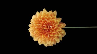 Time-lapse of dying orange dahlia (georgine) flower 10v5 in 4K PNG+ format with alpha transparency channel isolated on black background, vertical orientation