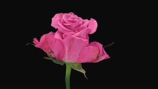 Time-lapse of dying pink Ballet rose 5x1 in Animation format with ALPHA transparency channel isolated on black background