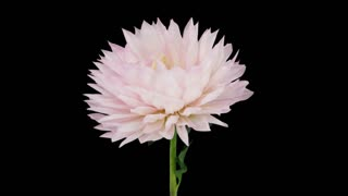 Time-lapse of dying pink dahlia flower 5x1 in PNG+ format with ALPHA transparency channel isolated on black background
