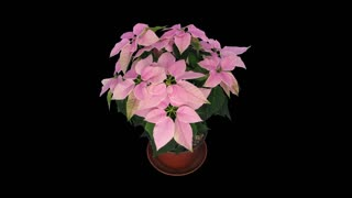 Time-lapse of dying pink Poinsettia (Princettia) Christmas flower 5a3 in RGB + ALPHA matte format isolated on black background