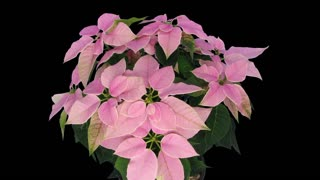 Time-lapse of dying pink Poinsettia (Princettia) Christmas flower 5b3 in RGB + ALPHA matte format isolated on black background
