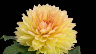Time-lapse of dying pink yellow dahlia 1e3 in RGB + ALPHA matte format isolated on black background