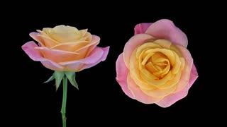Time-lapse of dying pink-yellow Miss Piggy rose 2x1 in PNG+ format with ALPHA transparency channel isolated on black background, top and front view, synchronized two cameras shot