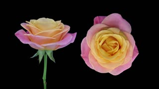 Time-lapse of dying pink-yellow Miss Piggy rose 2x3 in RGB + ALPHA matte format isolated on black background, top and front view, synchronized two cameras shot