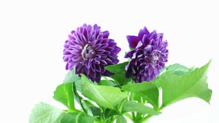 Time-lapse of dying purple dahlia flower 2a2 isolated on black background, 4K
