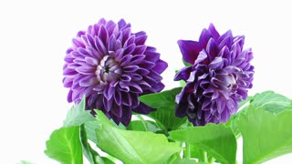 Time-lapse of dying purple dahlia flower 2b1 isolated on white background