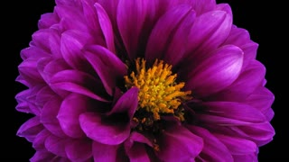 Time-lapse of dying purple dahlia flower 4a3 in RGB + ALPHA matte format isolated on black background