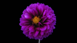 Time-lapse of dying purple dahlia flower 6x3 in RGB + ALPHA matte format isolated on black background