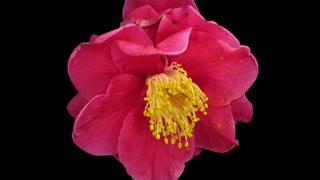 Time-lapse of dying red camellia flower 2a3 in RGB + ALPHA matte format isolated on black background