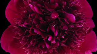Time-lapse of dying red peony (Paeonia) flower 3b3 in RGB + ALPHA matte format isolated on black background, top view