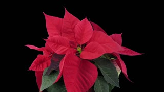 Time-lapse of dying red Poinsettia (Princettia) Christmas flower 10b3 in RGB + ALPHA matte format isolated on black background