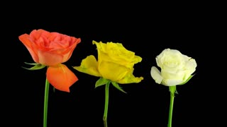 Time-lapse of dying red, yellow and white roses 3x3 in RGB + ALPHA matte format isolated on black background
