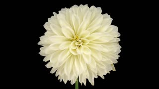 Time-lapse of dying white dahlia flower 4a1 in PNG+ format with ALPHA transparency channel isolated on black background