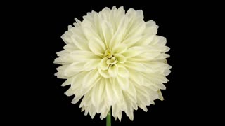 Time-lapse of dying white dahlia flower 4a3 in RGB + ALPHA matte format isolated on black background