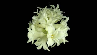 Time-lapse of dying white hyacinth Christmas flower 1b1 in PNG+ format with ALPHA transparency channel isolated on black background, top view
