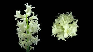 Time-lapse of dying white hyacinth Christmas flower 3d3 in RGB + ALPHA matte format isolated on black background